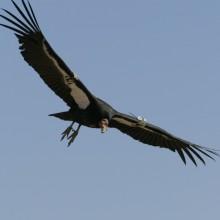 Condor119