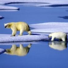 Eisbärenfamilie in Kanada